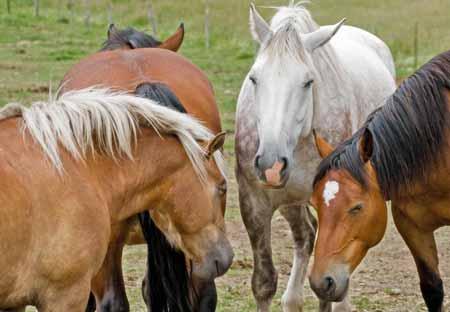 Лошади являются одними из животных, которые могут заболеть болезнью Лайма.