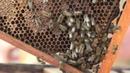 Якутские пчеловоды приступили к сбору меда