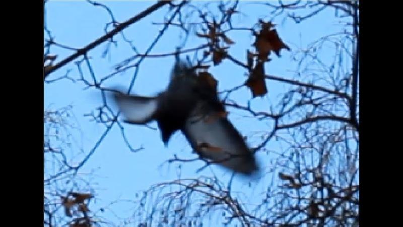 Спасение голубя повисшего вниз головой на большой высоте при помощи удочки