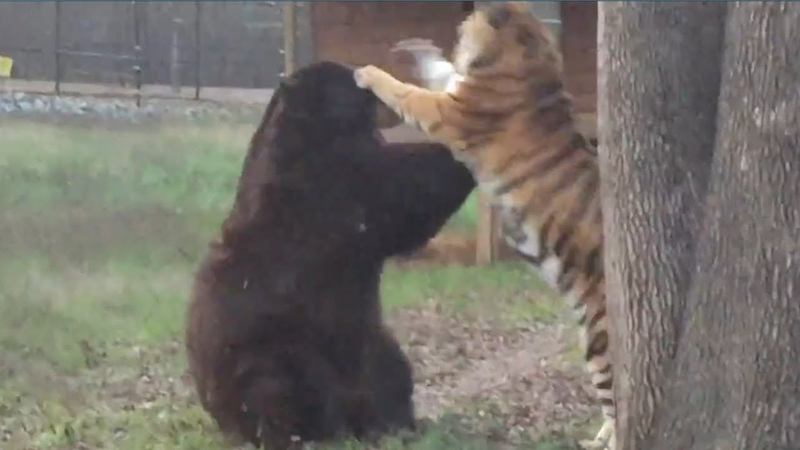Best Clips of The BLT - This Tiger and Bear After 15 years of friendship