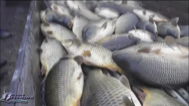 КАРПОВОЕ ХОЗЯЙСТВО Столько рыбы я еще не видел