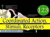 Coordinated Action, Stimuli, Receptors in HindiUrdu - 12 Class Biology #123