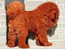 Самая дорогая собака в мире куплена за 1500000 $