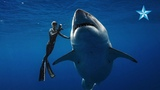 Giant great white shark thrills divers off Oahu