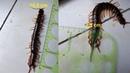 Con rết khổng lồ to dài gần 19 cm - có lẽ con rết này to nhất Việt Nam