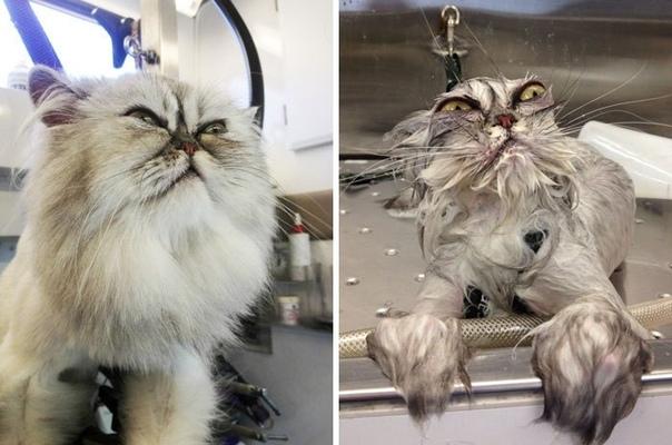 Помытые и оскорбленные: 8 котов, принявших ванну