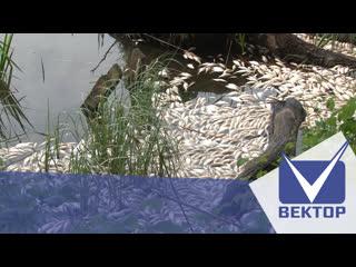 Тонны мертвой рыбы прибило к берегам озера званое в полоцком районе