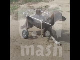 В Челябинске сварщик сделал инвалидную коляску для собаки без трех лап