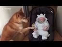 Собака впервые увидела младенца и удивила хозяев своим поступком