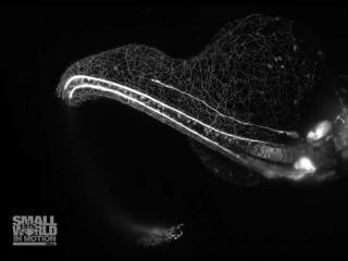 Как растет нервная система малька аквариумной рыбки. В 40 секунд уложили 16 часов. Победитель конкурса Nikon Small World 2018.