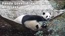 Panda Loves Playing Hide And Seek iPanda