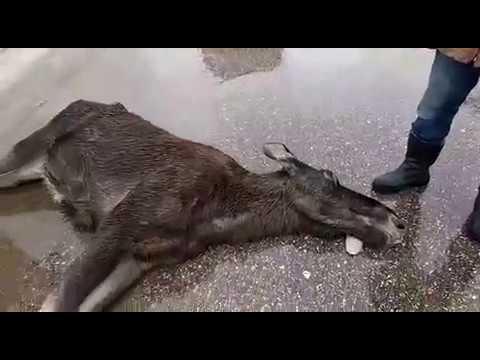 Инспектора намеренно сбили лосёнка
