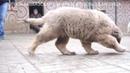 Продается щенок кавказская овчарка, кобель 3,5 месяца. www.r- 79262205603 Ягодкина Татьяна