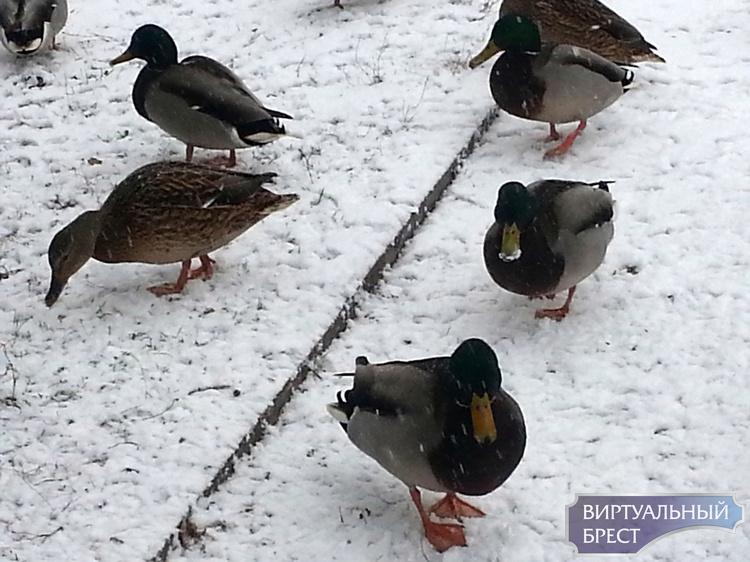 Брестчане переживают за уточек в парке и призывают желающих их подкармливать