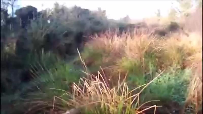 Охота с спрингер спаниэлем на вальдшнепа.