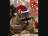 Енот и Новый Год 🎄 🍊😀