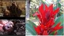 Канны красивое цветущее растение Как я сажаю клубни канн весной