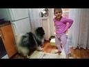 Маргарита укратительница собак Вольфшпиц Ачи