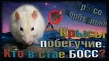 (О) Крысы на