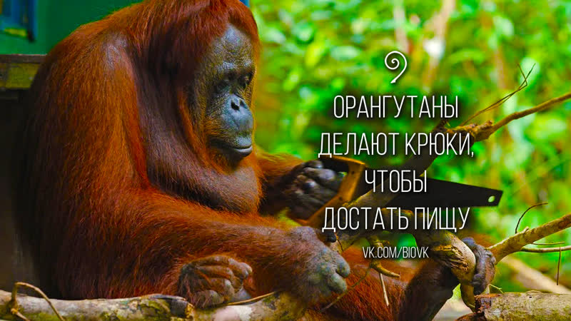 Crafting of Hook Tools by Orangutans