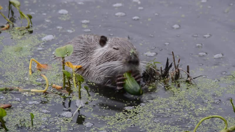 нутрия на озере первый раз попробовала огурец