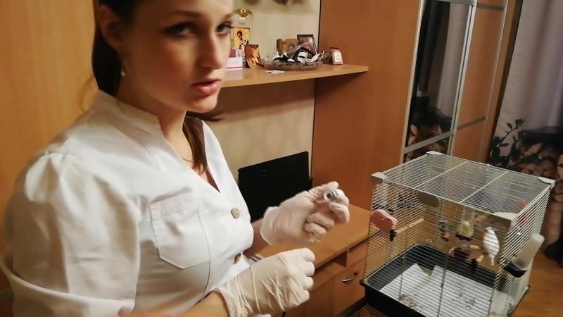 Разведение препарата перед инъекцией для волнистого попугая