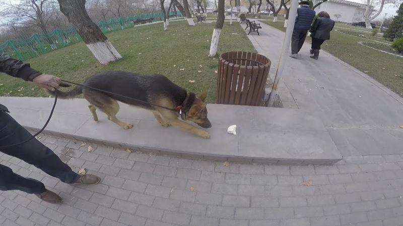 Урок от Наджаряна младшего один из способов как отучить собаку подбирать