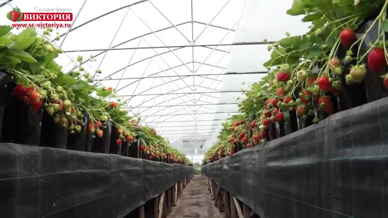 Альбион - сорт крупноплодной земляники