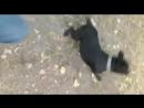 Зверское нападение стаффордширского бультерьера на хозяина (Осторожно ненормативная лексика)