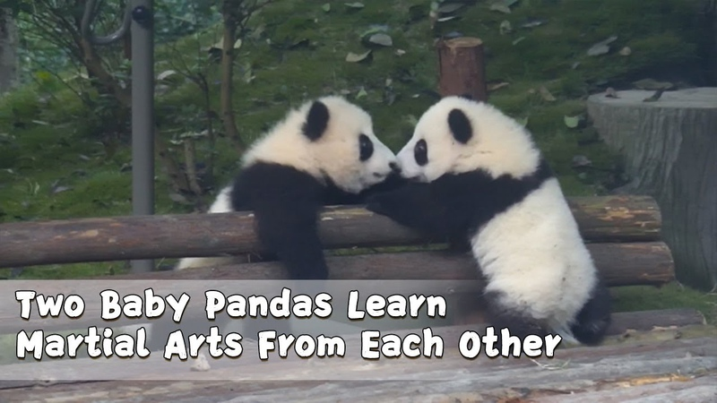 Two Baby Pandas Learn Martial Arts From Each Other | iPanda