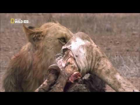 Nat Geo Wild: Дикая Ботсвана: Братство львов (1080р)