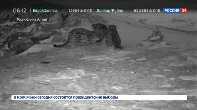 Новости на Россия 24 • Добровольческая экспедиция По следам снежного барса проходит в Республике Алтай