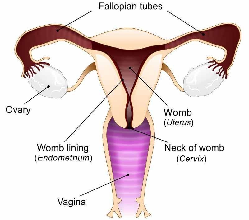 Схема женской репродуктивной системы, включая влагалище.