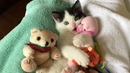 Baby Foster Kitten Playing With Cuddly Stuffies