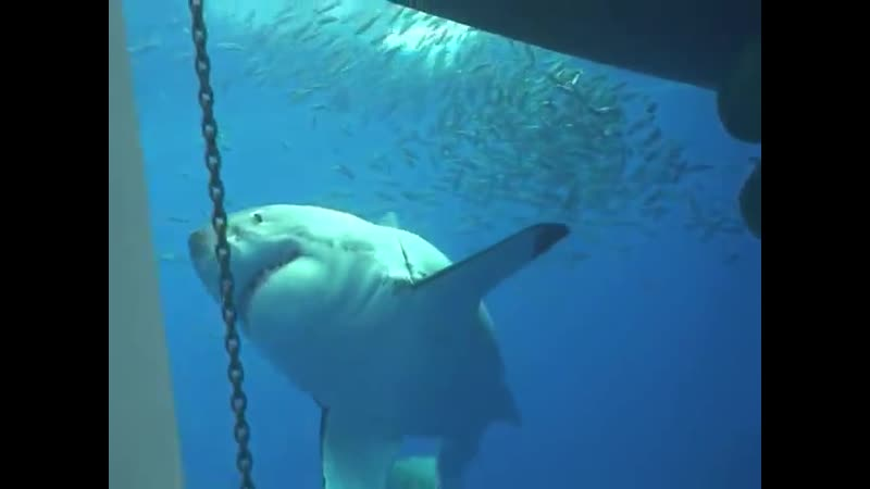 Дайвинг с акулами на Гавайских островах