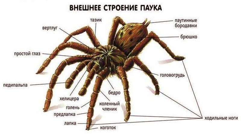 Ядовитые пауки и насекомые