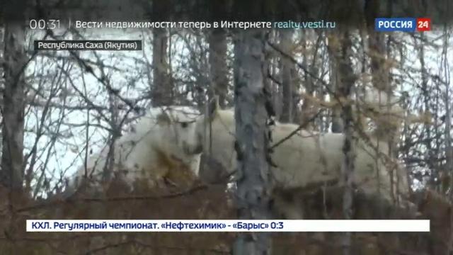 Новости на Россия 24 • В Якутии спасли осиротевшего белого медвежонка