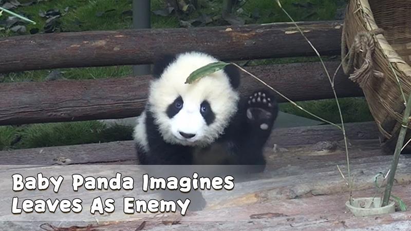 Baby Panda Imagines Leaves As Enemy iPanda