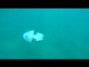 Огромная медуза корнерот в гурзуфской бухте никогда таких больших не видел