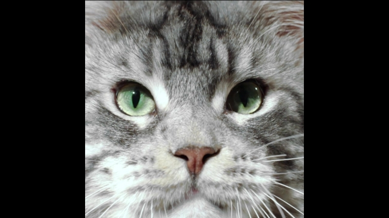 Maine-coon silver tabby