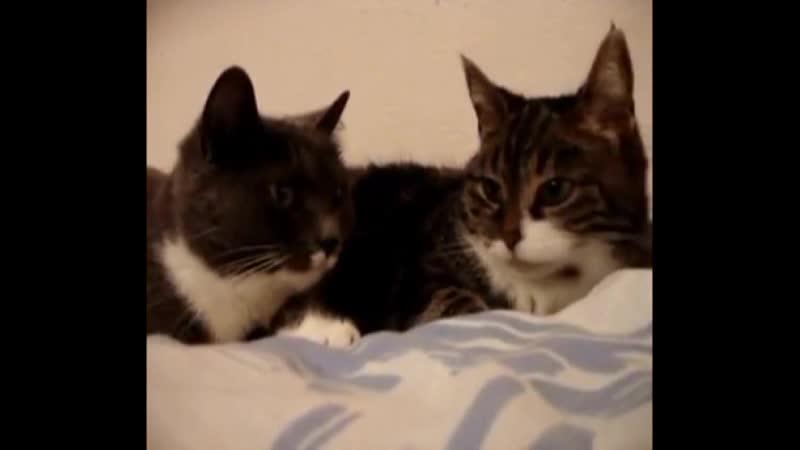 Два кота разговаривают как люди