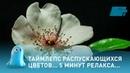 Таймлепс распускающихся цветов 5 минут релакса