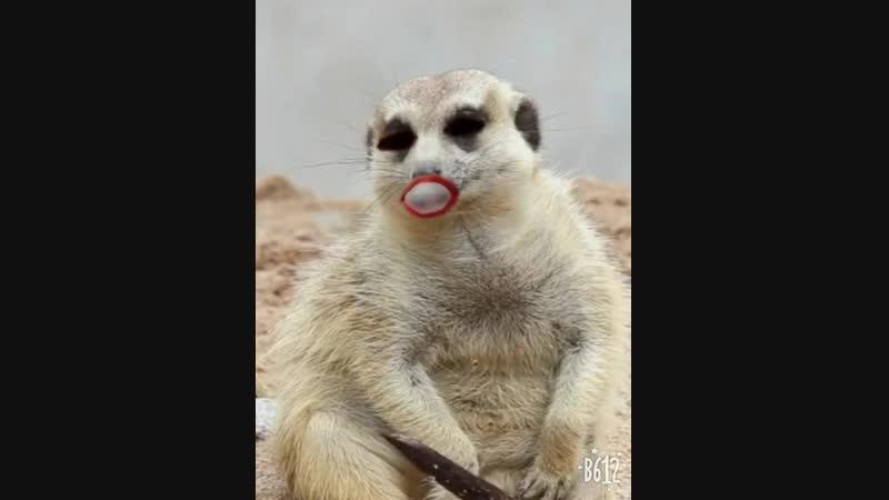 ленивец жует жвачку