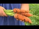 Секреты выращивания моркови