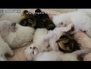 Котята и утята