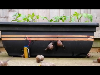 How to stop snails eating your tomato plants 🐌 🛑 🍅