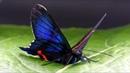 Metalmark butterfly from Ecuador