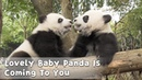 Lovely Baby Panda Is Coming To You | iPanda