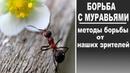 Борьба с муравьями на огороде и в саду Опыт и рецепты от наших зрителей