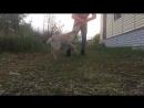 Bethany Labrador Retriever 6 months